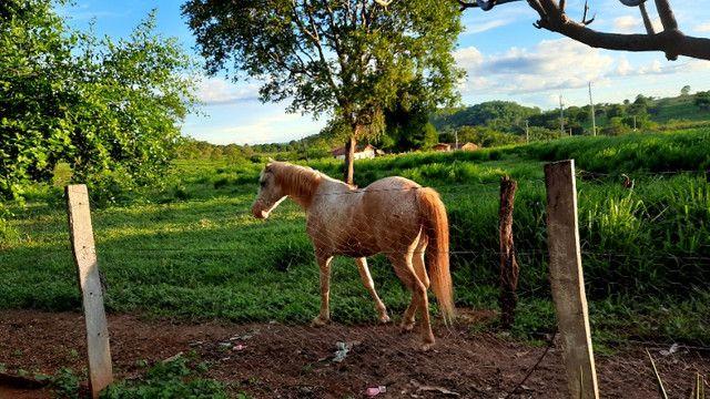 Cavalo apaluza valor 1.500 - Foto 2
