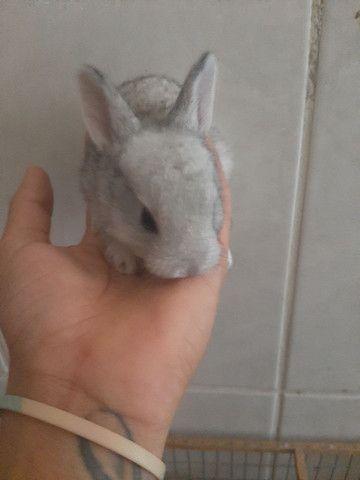 Vende se filhote de coelhos