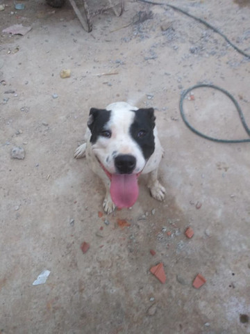 Pitbull red nose - Foto 2