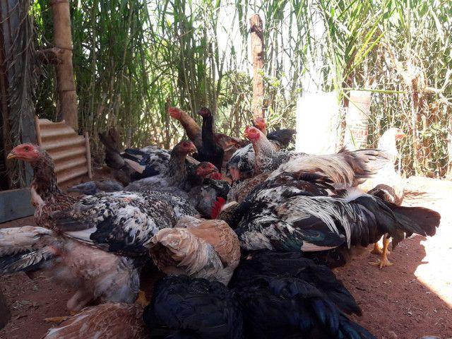 Vende-se frangos caipira - Foto 5