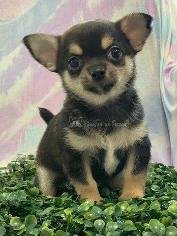 Lindos Chihuahuas!! - Foto 3