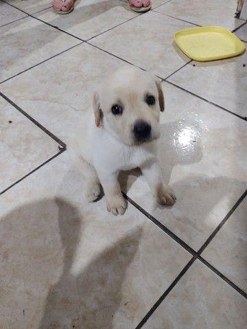 Labrador femia