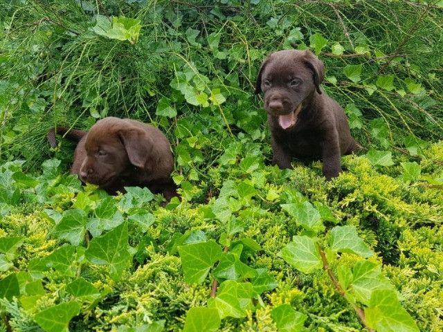 Labrador filhotinhos a pronta entrega com pedigree - Foto 4