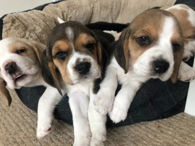 Beagle filhotinhos a pronta entrega com pedigree  - Foto 4