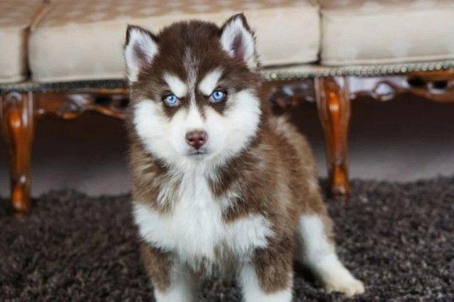 Husky Siberiano filhotinhos a pronta entrega com pedigree - Foto 5