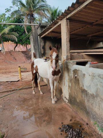 Potro Paint Horse - Foto 3
