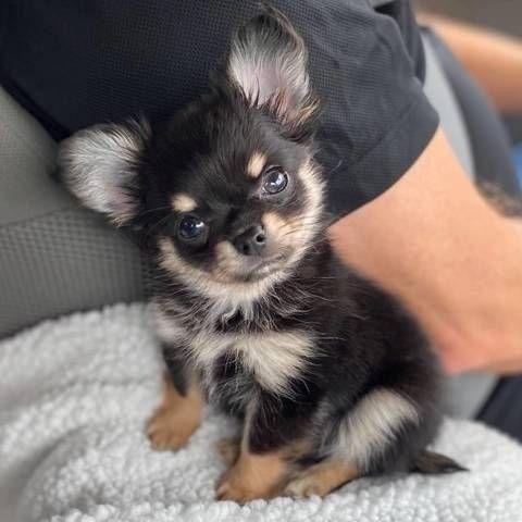 Chihuahua - filhotes a pronta entrega