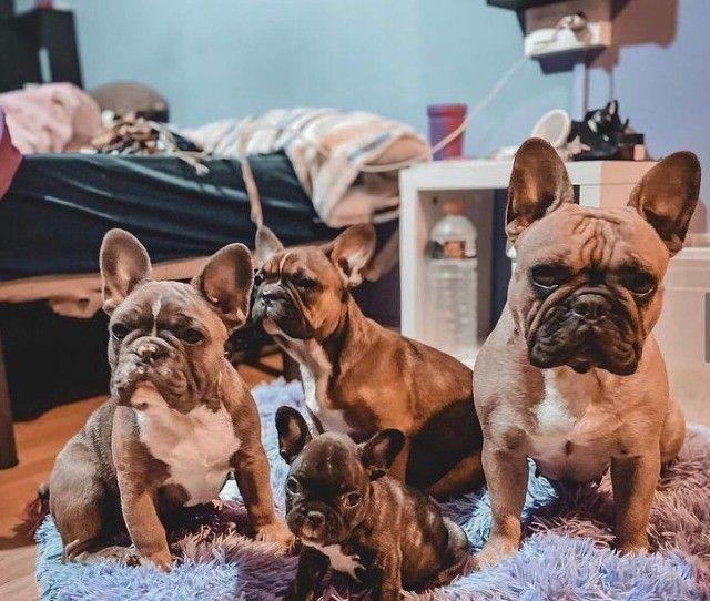 Maravilhosos Bulldog Francês - Foto 2