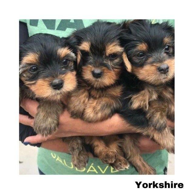 Yorkshire com pedigree e microchip em até 12x