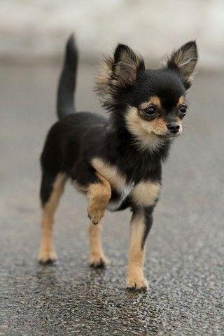 Chihuahua - filhotes a pronta entrega  - Foto 2
