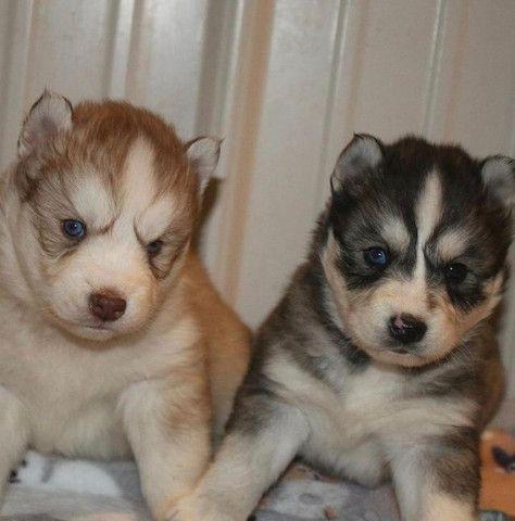 Filhotes de Husky Incríveis - Foto 2