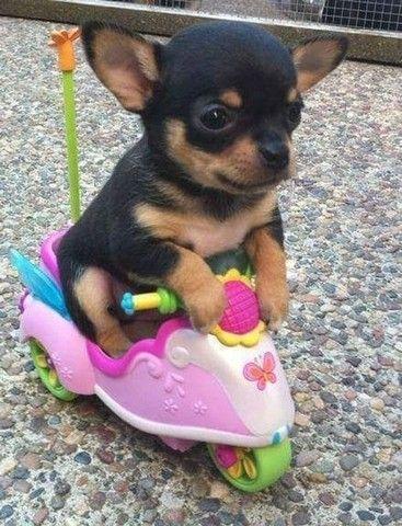 Chihuahua - filhotes a pronta entrega  - Foto 5
