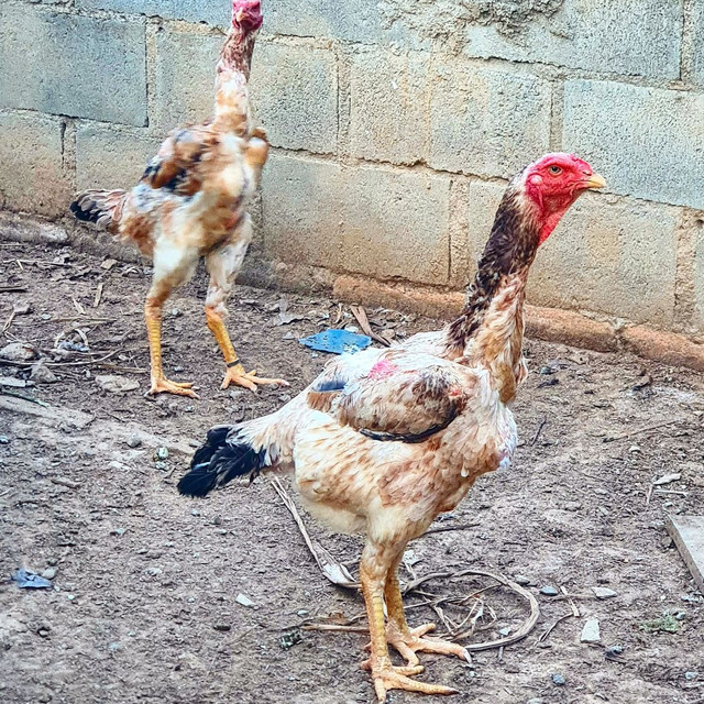 Ovos de Índio Gigante - Foto 2