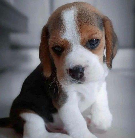 Filhotes de Beagle Lindissímos - Foto 3