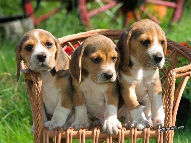 Beagle filhotes disponíveis