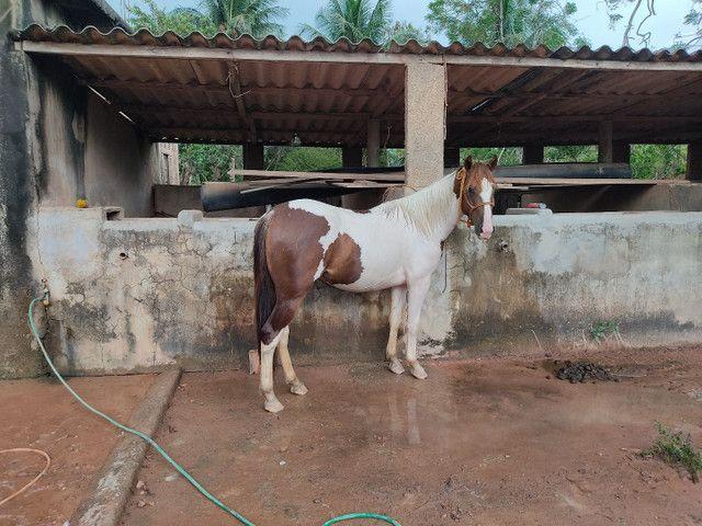 Potro Paint Horse - Foto 4
