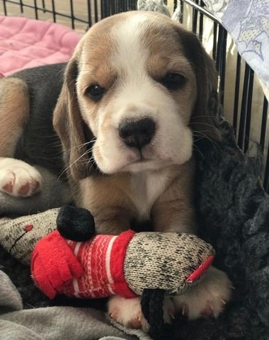 Filhotes de Beagle - Foto 2