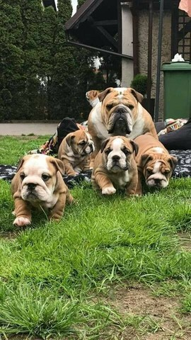 Bulldog Inglês - filhotes a pronta entrega  - Foto 2