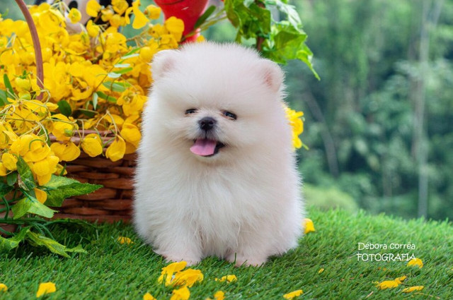 Poms Pomeranian