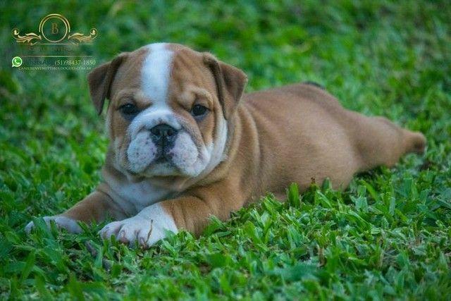Bulldog filhote - Foto 4