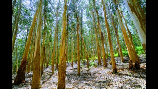 7 hectares 12 mil pés de eucalipto abaixou para 99 mil terreno alqueires - Foto 2
