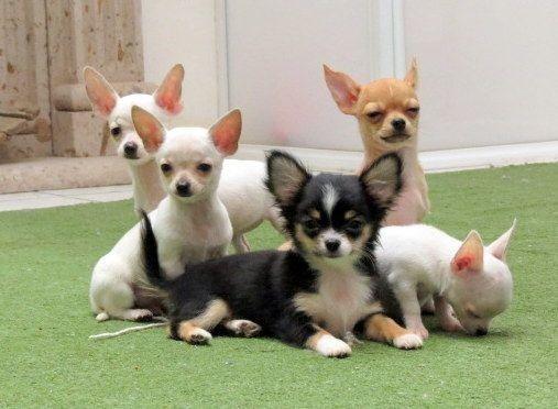 Chihuahua  - Foto 4