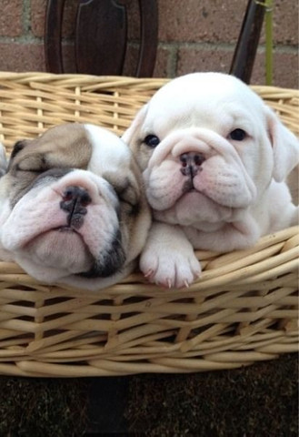 Bulldog Inglês filhotinhos a pronta entrega com pedigree - Foto 2