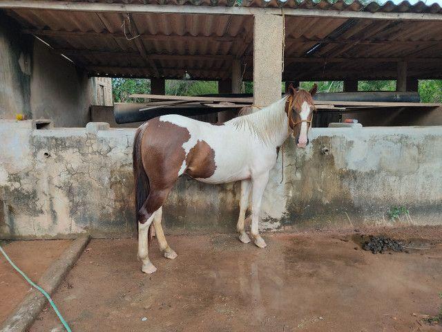 Potro Paint Horse - Foto 6
