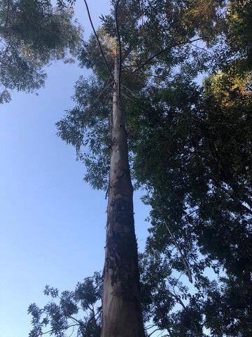 Eucalipto 10mil pés 8 anos de idade - Foto 4