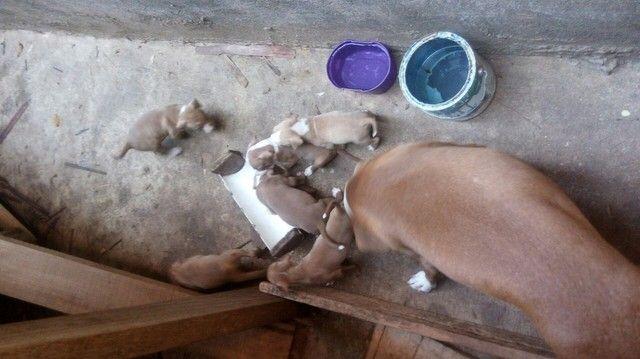 Venda de filhotes de pitbull - Foto 2