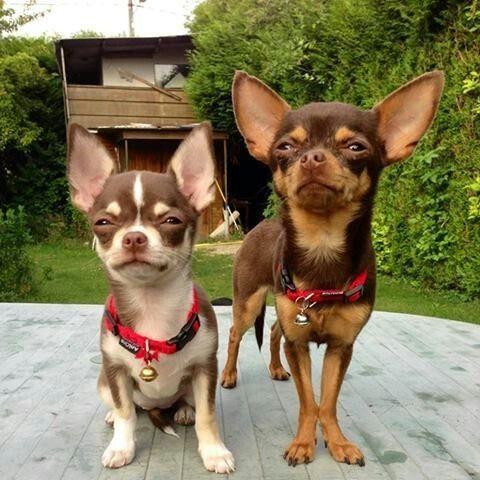 Chihuahua  - Foto 2
