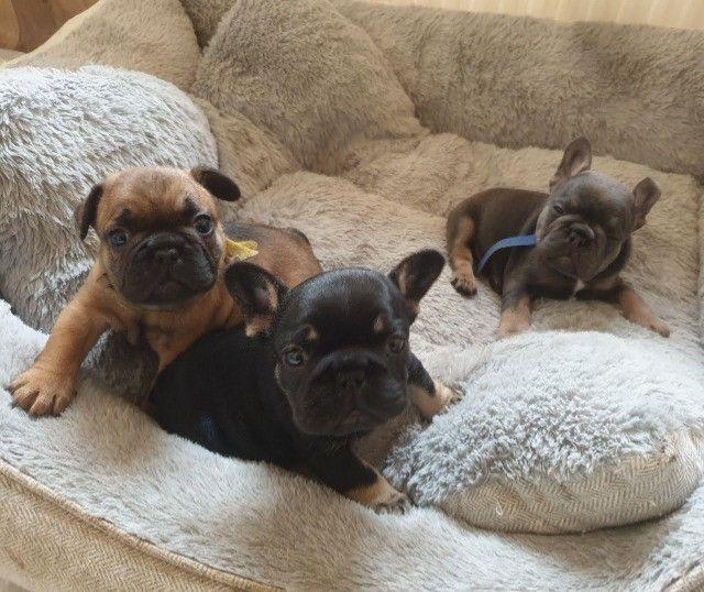 Bulldog Francês filhotinhos a pronta entrega com pedigree - Foto 3