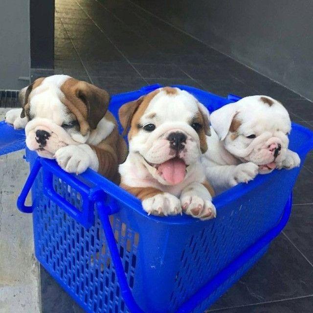 Bulldog Inglês filhotinhos a pronta entrega com pedigree - Foto 4