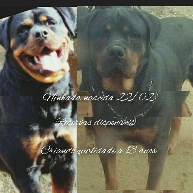 Rottweiler - Foto 4