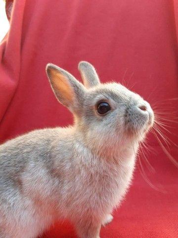 PROMOÇÃO filhotes ?e coelho anão Netherland  - Foto 5