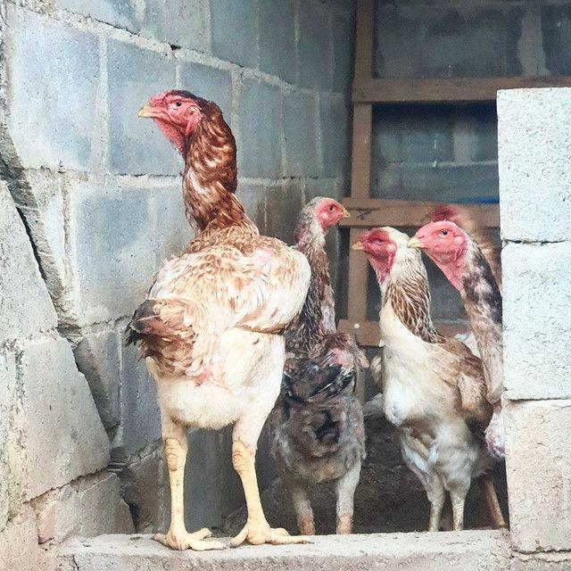 Ovos de Índio Gigante - Foto 3