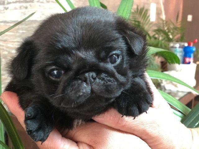 Filhote de Pug - Foto 5
