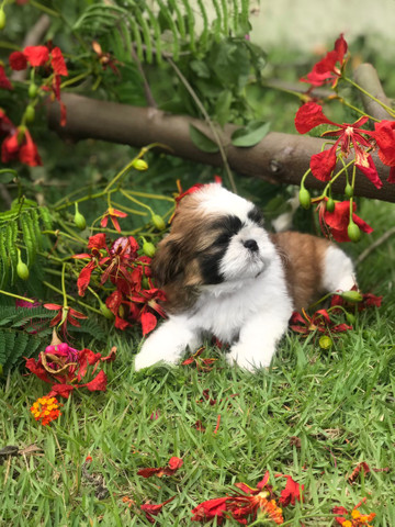 Shih Tzu Baby Mini com Pedigree