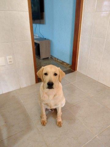 Vendo labrador - Foto 2