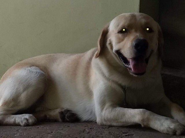 Labrador femia  - Foto 2