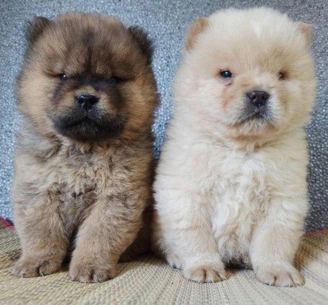 Adoráveis filhotes de Chow-Chow