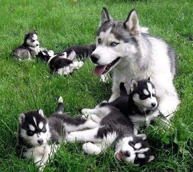 Husky Siberiano filhotinhos a pronta entrega com pedigree