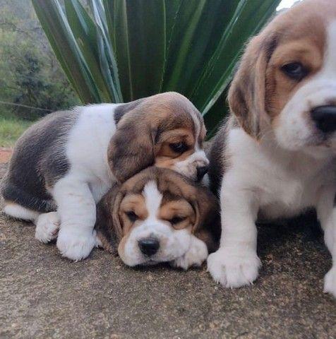 Filhotes de Beagle Belíssimos - Foto 2