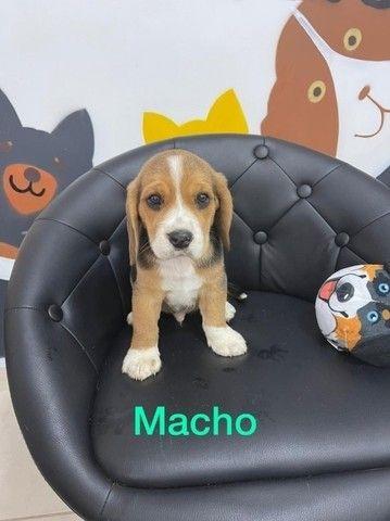 Beagle - filhotes a pronta entrega - Foto 2