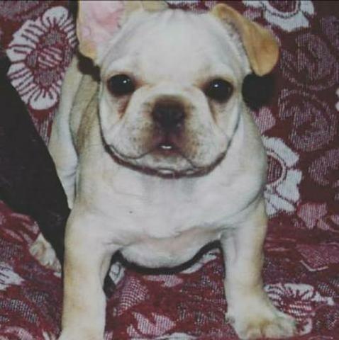 Bulldog Francês Fêmea Creme com pedigree
