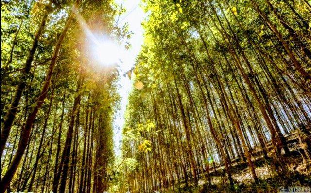 7 hectares 12 mil pés de eucalipto abaixou para 99 mil terreno alqueires