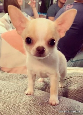 Chihuahua - filhotes a pronta entrega  - Foto 4
