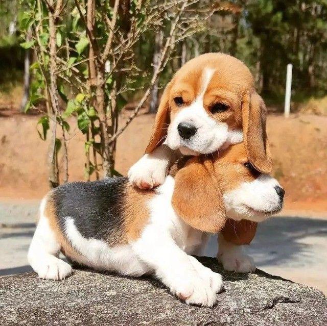 Filhotes de Beagle Belíssimos