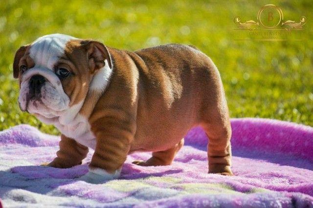 Bulldog filhote - Foto 5
