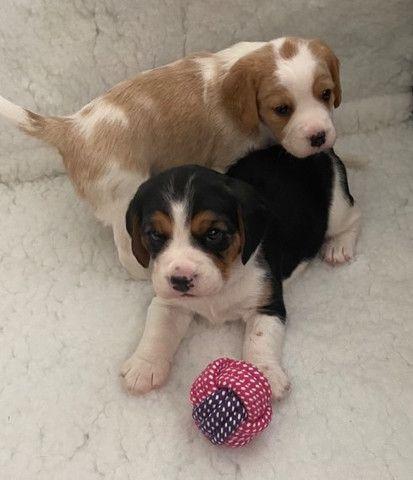 Beagle filhotinhos a pronta entrega com pedigree